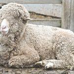 Types of wool used in Aran jumpers